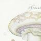DETAILS 01 | Mycology - Mushroom - Psalliota Pl.136