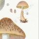 DETAILS 05 | Mycology - Mushroom - Psalliota Pl.136