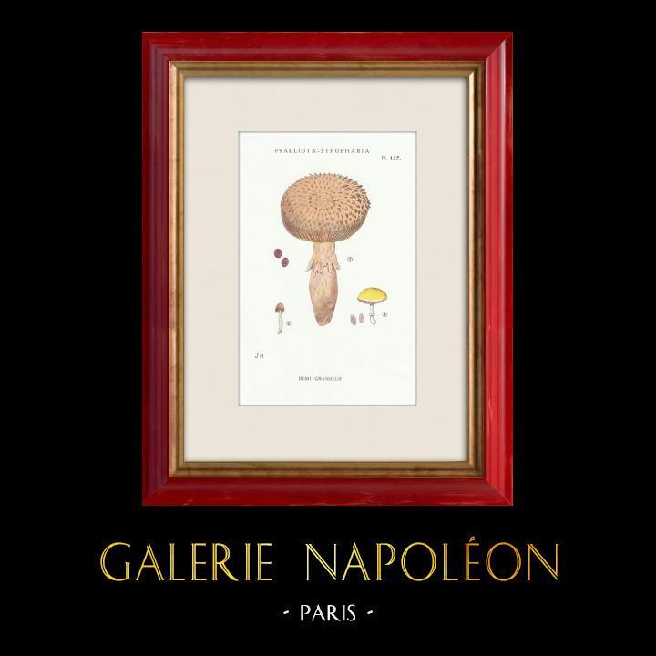 Gravures Anciennes & Dessins | Mycologie - Champignon - Psalliota - Stropharia Pl.137 | Impression | 1919