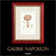 Mycologie - Champignon - Psalliota - Stropharia Pl.137