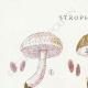 DETAILS 01 | Mycology - Mushroom - Stropharia Pl.138