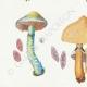 DETAILS 02 | Mycology - Mushroom - Stropharia Pl.138