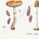 DETAILS 03 | Mycology - Mushroom - Stropharia Pl.138