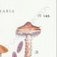 DETAILS 04 | Mycology - Mushroom - Stropharia Pl.140