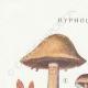 DETAILS 01 | Mycology - Mushroom - Hypholoma Pl.141