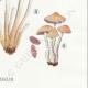 DETAILS 06 | Mycology - Mushroom - Hypholoma Pl.141