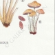 DETAILS 08 | Mycology - Mushroom - Hypholoma Pl.141