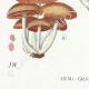 DÉTAILS 03   Mycologie - Champignon - Hypholoma Pl.142