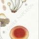 DÉTAILS 05   Mycologie - Champignon - Hypholoma Pl.142