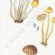 DETAILS 02   Mycology - Mushroom - Hypholoma Pl.143