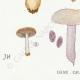 DÉTAILS 03 | Mycologie - Champignon - Pilosace - Chitonia - Psilocybe Pl.144