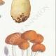 DÉTAILS 05 | Mycologie - Champignon - Pilosace - Chitonia - Psilocybe Pl.144
