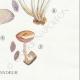 DÉTAILS 06 | Mycologie - Champignon - Pilosace - Chitonia - Psilocybe Pl.144