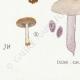 DÉTAILS 07 | Mycologie - Champignon - Pilosace - Chitonia - Psilocybe Pl.144