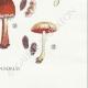 DETAILS 08 | Mycology - Mushroom - Psilocybe Pl.145