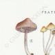DETAILS 01 | Mycology - Mushroom - Psathyra Pl.148