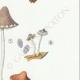DETAILS 05 | Mycology - Mushroom - Psathyra Pl.148