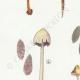 DETAILS 02 | Mycology - Mushroom - Panaeolus Pl.150