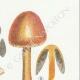 DETAILS 05 | Mycology - Mushroom - Panaeolus Pl.150
