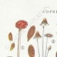DETAILS 01   Mycology - Mushroom - Coprinus Pl.153