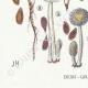 DETAILS 03   Mycology - Mushroom - Coprinus Pl.153
