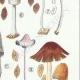 DETAILS 05   Mycology - Mushroom - Coprinus Pl.153