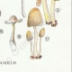 DETAILS 06   Mycology - Mushroom - Coprinus Pl.153