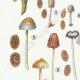 DETAILS 02 | Mycology - Mushroom - Coprinus Pl.154