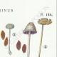 DETAILS 04 | Mycology - Mushroom - Coprinus Pl.154
