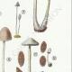 DETAILS 05 | Mycology - Mushroom - Coprinus Pl.154