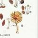 DETAILS 06 | Mycology - Mushroom - Coprinus Pl.154
