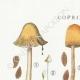 DETALLES 01 | Micología - Seta - Coprinus Pl.155