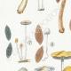DETALLES 02 | Micología - Seta - Coprinus Pl.155
