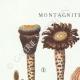 DÉTAILS 01 | Mycologie - Champignon - Montagnites - Lenzites Pl.157