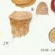 DÉTAILS 03 | Mycologie - Champignon - Montagnites - Lenzites Pl.157