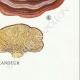 DÉTAILS 08 | Mycologie - Champignon - Montagnites - Lenzites Pl.157
