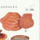 DETAILS 04 | Mycology - Mushroom - Lenzites - Daedalea Pl.158