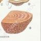 DETAILS 06 | Mycology - Mushroom - Lenzites - Daedalea Pl.158