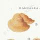 DÉTAILS 01 | Mycologie - Champignon - Daedalea - Trametes Pl.159