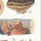DÉTAILS 05 | Mycologie - Champignon - Daedalea - Trametes Pl.159