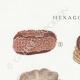 DÉTAILS 01 | Mycologie - Champignon - Hexagona Pl.162