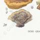 DETAILS 07 | Mycology - Mushroom - Polyporus Pl.167