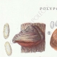 DETAILS 01 | Mycology - Mushroom - Polyporus Pl.168