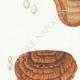 DETAILS 02 | Mycology - Mushroom - Polyporus Pl.169bis