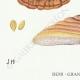 DETAILS 03 | Mycology - Mushroom - Polyporus Pl.169bis