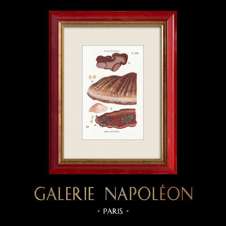 Gravures Anciennes & Dessins | Mycologie - Champignon - Polyporus Pl.170 | Impression | 1919
