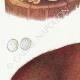 DETAILS 02 | Mycology - Mushroom - Polyporus Pl.172