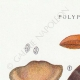 DETAILS 01 | Mycology - Mushroom - Polyporus Pl.173