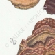 DETAILS 02 | Mycology - Mushroom - Polyporus Pl.173