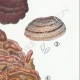 DETAILS 05 | Mycology - Mushroom - Polyporus Pl.173